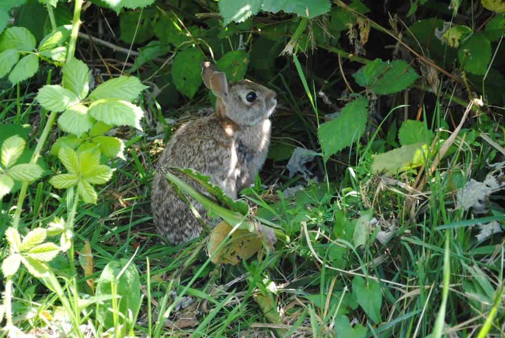 One of many wild rabbits at the community garden