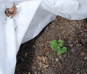 Potatoes grown under Reemay