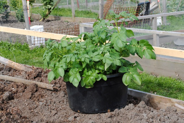 Potatoes started in the greenhouse