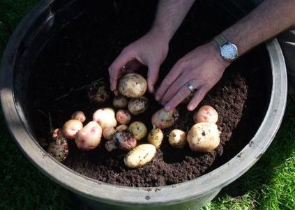 spring potato pot