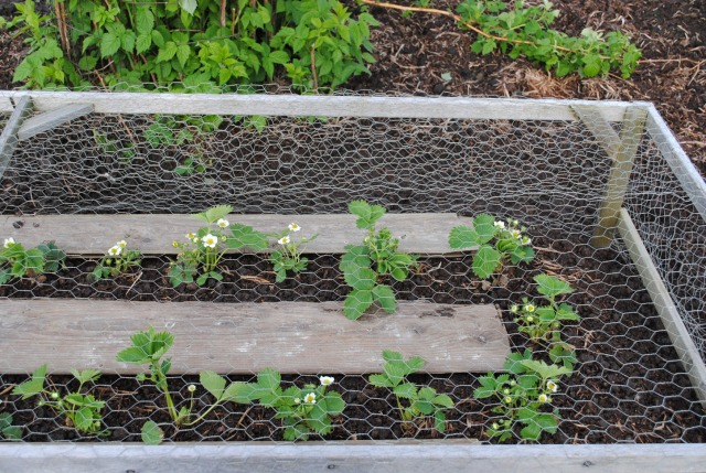 Strawberry Plot