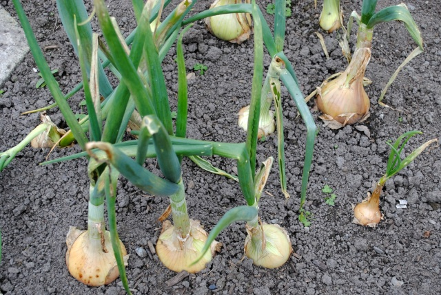 Overwintered Onions