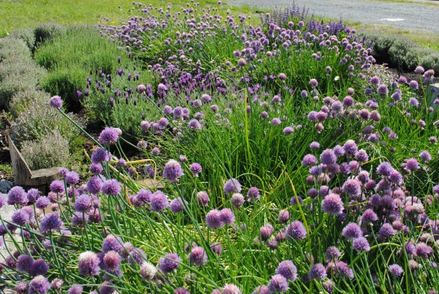Purple Herb Flowers