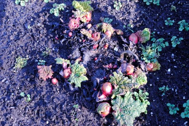 Spring Rhubarb Growth